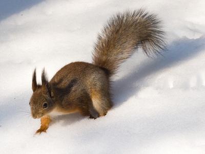 Фото белки зимой