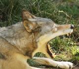 Отстрел волков