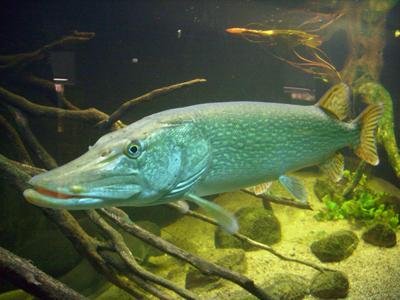 Фото щуки под водой