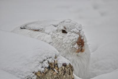 Фото зайца зимой