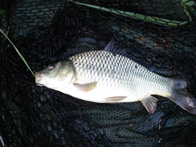 Рыба карп фото