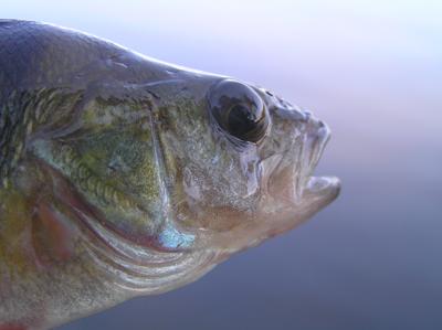 Рыбы озера Байкал