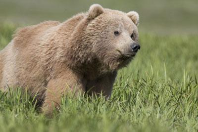 Бурый медведь фото