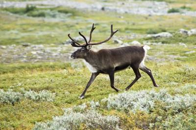 Фото северный олень