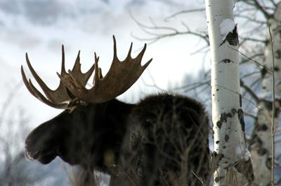 Фото животное лось