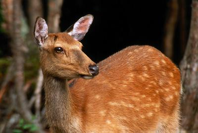 Пятнистый олень фото