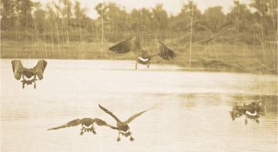 Как летят гуси