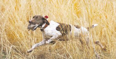 Собака на охоте