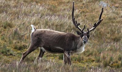 Северный олень фото