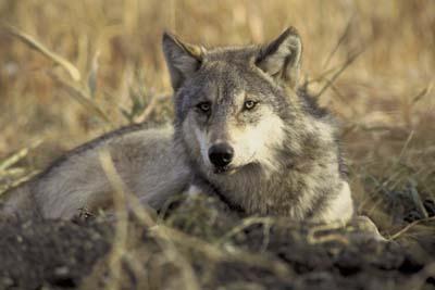 Красивые волки