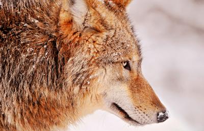 Волк зимой фото