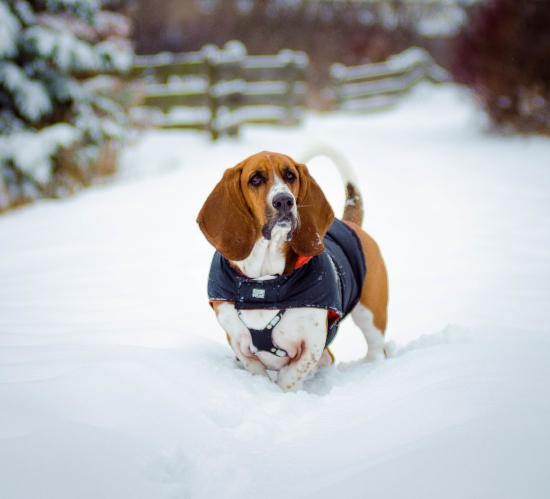 собака породы бассет-хаунд