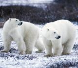 встреча с белыми медведями
