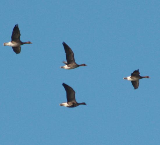 Дикие перелетные гуси