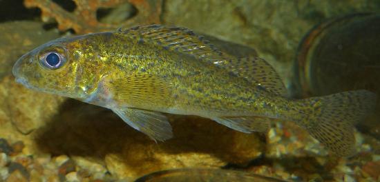 колючая рыба