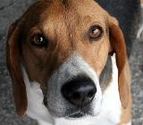 собака породы эстонская гончая