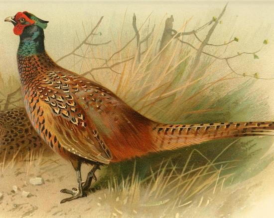самец-фазан