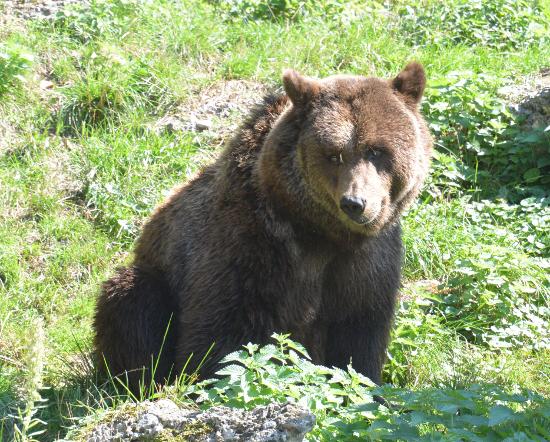 Голодной медведь