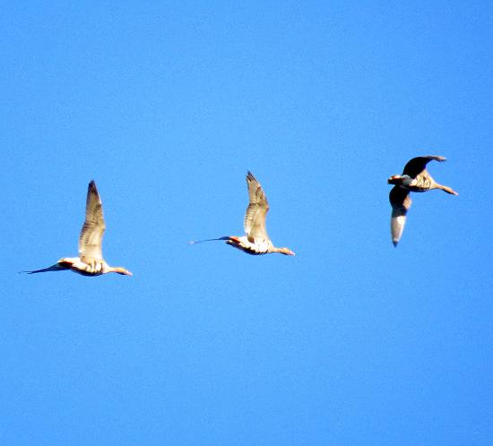 охота с профилями на гусей