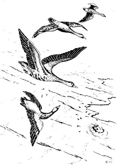 весенняя охота на гусей