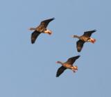 Пролетные гуси