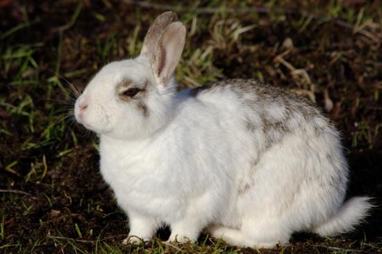 Убитый кролик