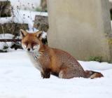 Опасная лисица