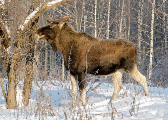 охота на лося зимой