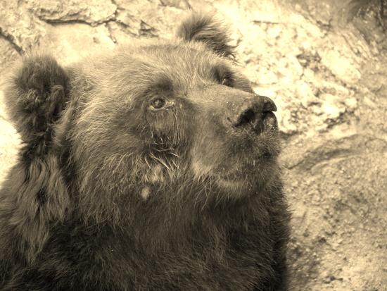 крупный медведь