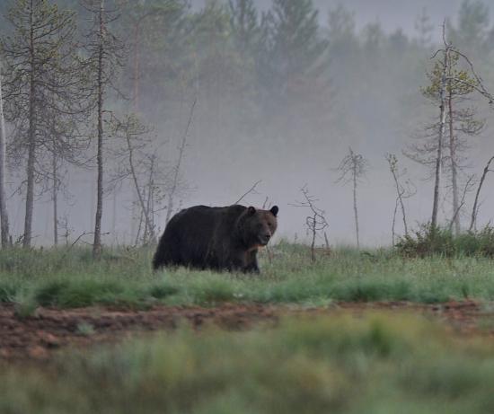 Разъяренный медведь