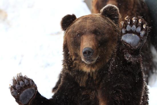 Добытый медведь