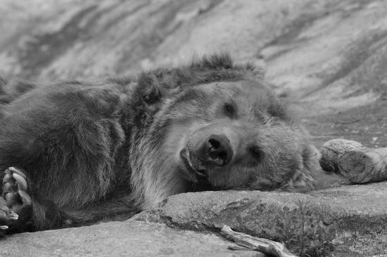Охота на медведицу