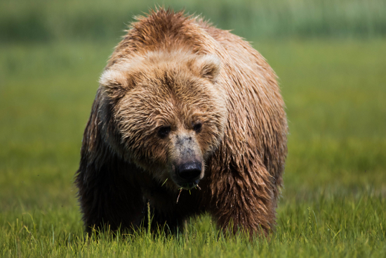 огромная медведица