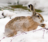 Заяц русак зимой