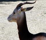фото антилопа