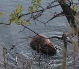 Бобр в воде фото