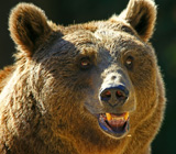 Медведи в Красноярском крае