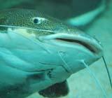 Сом рыба