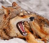 Конец охоты на волков