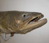 Чучело рыбы фото