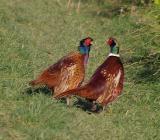 Фото фазанов