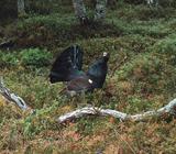 Глухарь в лесу