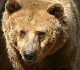 морда медведя фото