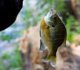 Фото рыбы на крючке