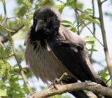 фото серой вороны