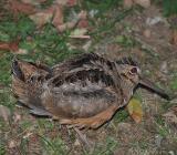 птица вальдшнеп