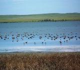 Дичь на озере
