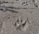 Волчьи следы