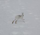 Заяц на снегу