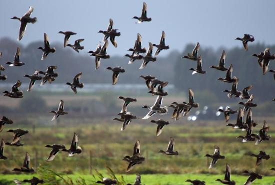 Перелетные утки
